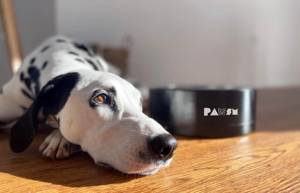 A dalmatian chilling with PAWSM bowl (dog bowl)